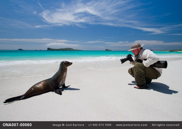 Joel Sartore photographs a Galapagos sea lion (Zalophus wollebaeki) while on assignment on Espanola Island in the Galapagos.  (Photo by Michael S. Nolan - visit www.wildlifeimages.net for contact/licensing info.) (Image ID: ONA007-00060)