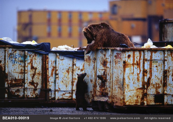 Grizzly bears attracted to the dumpsters at the oil field sites in Prudhoe Bay, AK. (Image ID: BEA010-00019)