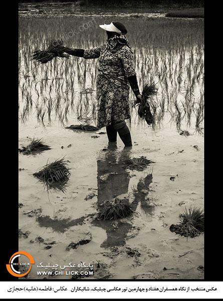 عکس های برتر تور شالیکاران معرفی شدند