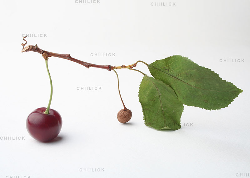 آلبالوی چهار فصل - مرجان ابوالقاسمی | نگارخانه چیلیک | chiilickgallery.com