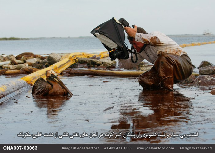Joel Sartore on assignment for NGM, by Gerald Herbert/AP.  An oil covered pelican sits stuck in thick beached oil at Queen Bess Island in Barataria Bay, just off the Gulf of Mexico in Plaquemines Parish, La., Saturday, June 5, 2010. (AP Photo/Gerald Herbert - Call 402.474.1006 for licensing info.) (Image ID: ONA007-00063)