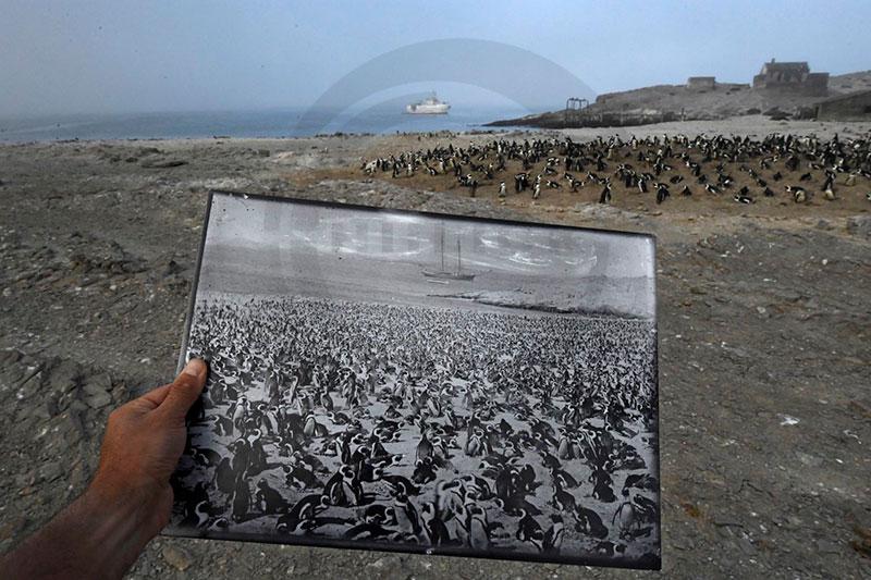 در چنین روزی عکس برگزیده محیط زیست از پنگوئن های آفریقایی به ثبت رسید